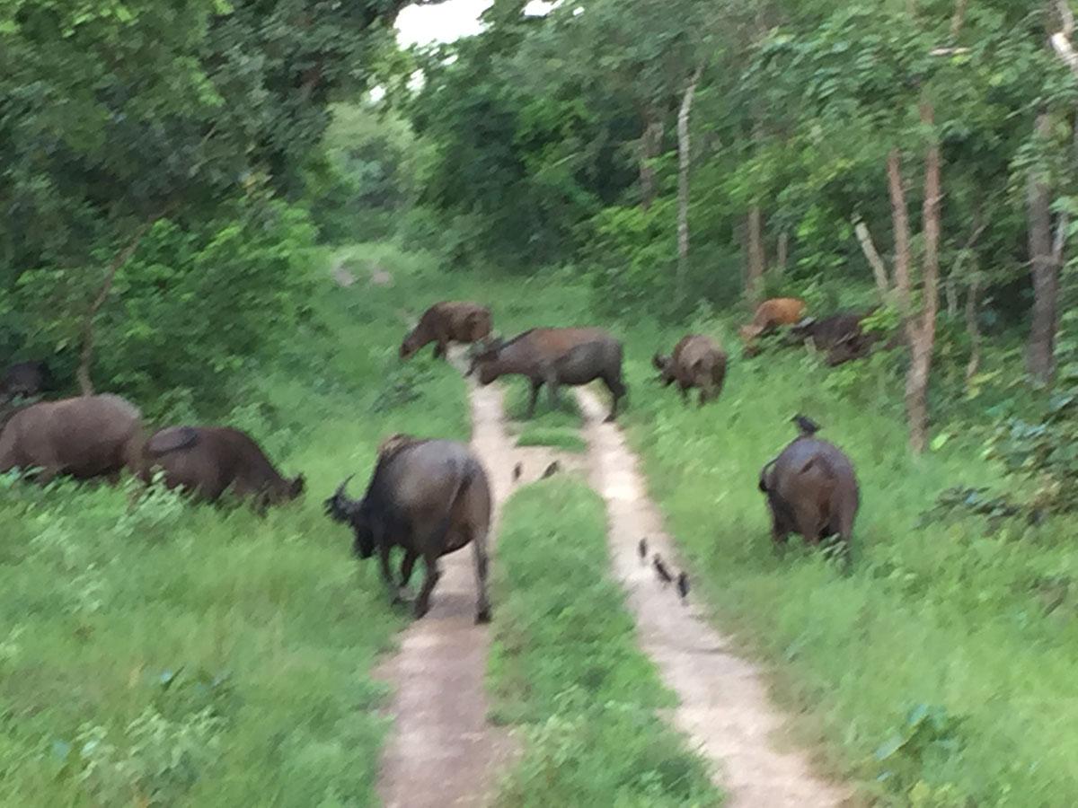 Eine Büffelherde im Sarakawa-Park überquert vor uns die Straße